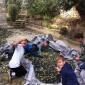 Συγκομιδή ελιάς στο Βόλο